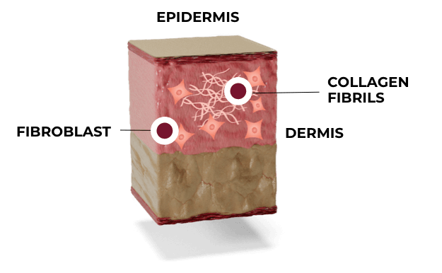 Illustration: Skin phase 3: maturation and remodeling