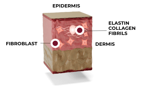 Illustration: Skin phase 2: proliferation